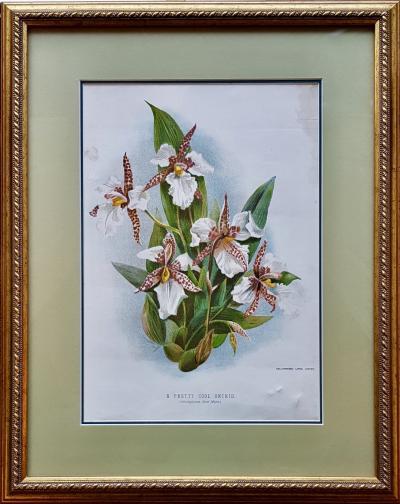 Ботаническая литография Холодолюбивая орхидея Одонтоглоссум Росси