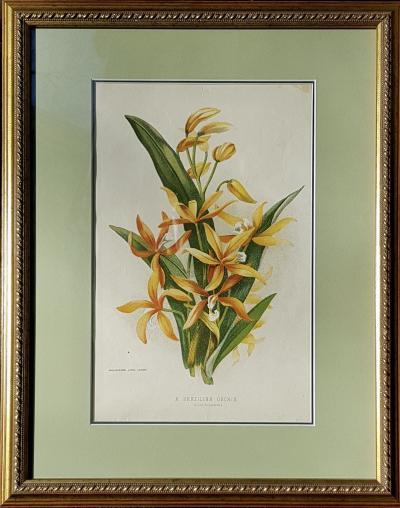 Ботаническая литография Бразильская орхидея Лелия Харпофилла