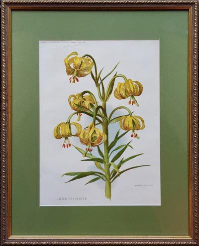 Ботаническая литография Лилия пиренейская
